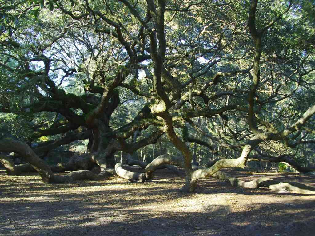 Angel Oak Tree is one of the best things to do in Charleston with kids